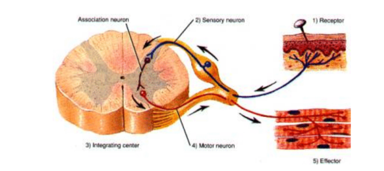 Dry Needling Diagram