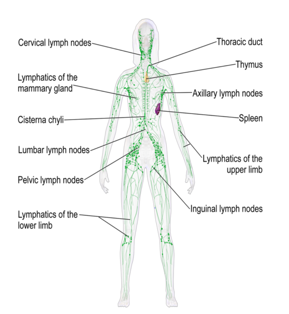 Hempstead Therapy Centre - Lymphatic Drainage Body Image